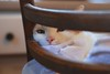 Otis in the tall chair with dishtowels (rootcrop54) Tags: otis orange ginger tabby masked male cat tallchair barstool bar dishtowels direct gaze eyecontact flirtatious pink neko macska kedi 猫 kočka kissa γάτα köttur kucing gatto 고양이 kaķis katė katt katze katzen kot кошка mačka gatos maček kitteh chat ネコ dreamboat cc100 cc300 dilute