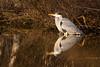 Mirror (Saztul) Tags: reiher bird heron vogel wildlife nature natur