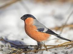 PC310045 (turbok) Tags: gimpel tiere vögel wildtiere c kurt krimberger