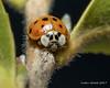 Ladybug 5 (strjustin) Tags: ladybug ladybird bug insect beautiful macro
