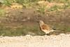 Linotte mélodieuse-0696 (llo27) Tags: faune fringillidés linariacannabina linottemélodieuse oiseau