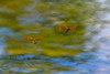 Hovering Dragonflies (thatSandygirl) Tags: ohio summer spring outdoor nature animal wildlife insect dragonfly darter pond hovering copper bronze flying