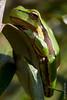 ©Mark Kras-Europese boomkikker-IMG_6695.jpg (markkras-fotografie) Tags: europeseboomkikker amfibieen reptielenenamfibieen fauna europeantreefrog hylaarborea nederland nl