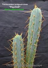 """Trichocereus bridgesii variety-clone """"Psycho0"""" (Pic #3) (mattslandscape) Tags: trichocereus bridgesii variety psycho0 psychoo pshyco plant cactus cacti kakteen plants rareplants clone hybrid"""