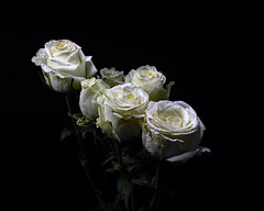 White Spray Roses 1231 (Tjerger) Tags: nature beauty black blackbackground bloom blooming blooms bunch closeup flora floral flower flowers group macro plant portrait rose roses white winter wisconsin yellow sprayroses natural beutiful