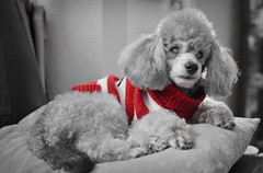 Archie (ihughes22) Tags: archie dog canine pooch ihughes22 nikon nikond5100 poodle mutt blind selectivecolouring jumper sweater