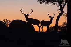 Red Deer Stags #Explored (fascinationwildlife) Tags: animal mammal wild wildlife winter nature natur national park andujar andalucia spain spanien europe dusk red deer stag hirsch rothirsch sierra morena male antler bull forest