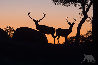 Red Deer Stags #Explored