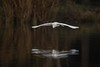 Snow On The Water (gseloff) Tags: snowyegret bird flight bif reflection water bayou animal wildlife nature mudlake armandbayou pasadena texas kayak gseloff