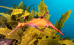 Going shallow - Weedy seadragon Phyllopteryx taeniolatus #marineexplorer (Marine Explorer) Tags: scuba nature marine underwater australia marineexplorer