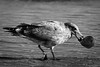 My Sea Shell (Nicholas Erwin) Tags: hamptonbeach bird animal seagull gull wildlife beach ocean sand seashell shell contrast blackandwhite monochrome bw nature naturephotography nikon d610 70200f4vr nikkor hampton newhampshire nh unitedstatesofamerica usa america fav10 fav25