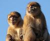 barbarymonkey ouwehands BB2A4322 (j.a.kok) Tags: ouwehands aap monkey mammal zoogdier dier animal berberaap barbarymacaque makaak macaque macaca asia azie primaat primate