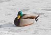 cold duck (jimbobphoto) Tags: mallard duck monongahela monriver duckhollow ice river frozen cold