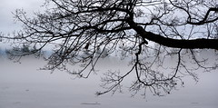 MILL LAKE IS FROZEN AND THE OUTDOOR TEMPERATURE HAS RISEN, THUS CREATING A FOGGY HAZE.  VERY MOODY. (vermillion$baby) Tags: milllake bough cloud fog limb mist rain tree winter abbotsford december nature bc fraservalley trees clouds cloudflckr beautifulbc