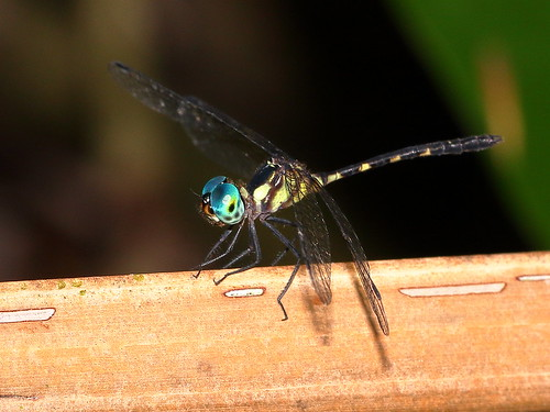 Rainforest Elf (male) (Tetrathemis irregularis)