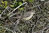 Northern Mockingbird--Mimus polyglottos (Polioptila caerulea) Tags: northernmockingbird mockingbird mimuspolyglottos mimis blackswan nevadacounty california nomo