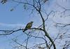 Grive draine. (Crilion43) Tags: arbres région véreaux feuillesfeuillage grive ciel oiseaux nuages centre paysages animaux villes musiciennedraine
