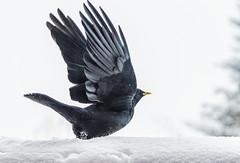 Chocard à bec jaune (Giloustrat) Tags: chocardabecjaune k3pentax oiseau montagne vanoise