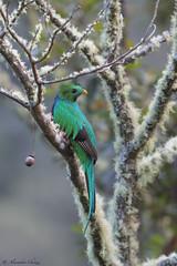 Quetzal (a.chiezzi) Tags: quetzal costarica centroamerica bird uccelli