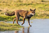 Red Fox (Simon Stobart) Tags: red fox vulpes walking grass water frozen hunting sunshine northeast england ngc npc