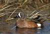 Blue-winged Teal (male) (andrewj1882) Tags: bluewinged teal spatula discors