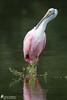 Roseate Spoonbill (Birds Of Amsterdam) Tags: roseate spoonbill bird rain pink florida nature wildlife swamp platalea ajaja lepelaar