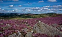 Purple and clouds (Phil-Gregory) Tags: nikon sigma18250macro sigma zoom purple heather peakdistrict naturalphotography natural national nature nationalpark naturephotography naturalworld d7200 countryside scenicsnotjustlandscapes landscapes colours color colour derbyshire view