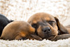 Sleeping Dachshund Puppies (Steven Green Photography) Tags: asleep baby dachshund dog doxie face hotdog nose pet puppy rest sleep teckel whiskers wienerdog young