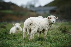 (zuk_sku) Tags: pecora sheep inghilterra corfecastle erikazucchiatti zuksku zukskuphotos animal green