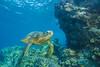 turtle5Nov18-17 (divindk) Tags: cheloniamydas hawaii hawaiianislands maui underwater diverdoug endangeredspecies greenseaturtle marine ocean reef sea seaturtle turtle underwaterphotography