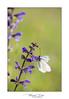 Gazè - Aporia crataegi (Mig 74) Tags: pierinae gazé papillondejour pieridae aporiacrataegilinnaeus1758 rhopalocères butterfly