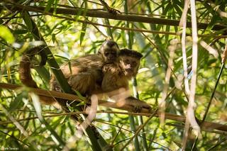 Macaco prego e filhote