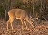 Nueve (Lindell Dillon) Tags: buck deer whitetail wildife nature oklahoma crosstimbers wildoklahoma