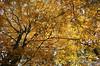 Beech / Beuk (rob.bremer) Tags: fagussylvatica beuk beech bos boom tree noordhollandsduinreservaat noordholland duinen dunes duingebied duinlandschap castricum forest colour autumn herfst
