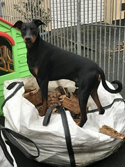 Counting the Fire Wood (firehouse.ie) Tags: inspiredbylove pinscher pinschers male boy k9 saxon dobermans dobermanns dobermann doberman dobies dobie dobeys dobey dobes dobe dogs dog
