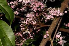 Melicope rubra (andreas lambrianides) Tags: melicoperubra rutaceae evodiellamuelleri littleevodia australianflora australiannativeplants wildflowers australianrainforsts australianrainforestplants arfflowers pinkarfflowers arfp qrfp