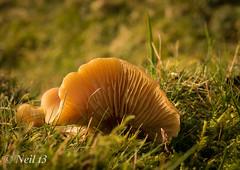 Fungi 3 (neil t3) Tags: ingleborough sonya77ii minolta24105mmf3545 minolta50mmf35macro yorkshiredales ribbleheadviaduct ribblevalley bleamoor moorland