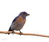 Western Bluebird (dennis_plank_nature_photography) Tags: avianphotography westernbluebird birdphotography naturephotography wa washington avian birds home littlerock male nature