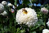 Bee Pollinating - White Dahlia (Free For Commercial Use (FFC)) Tags: bee pollination whitedahlia flower whiteflower spring summer freetravelimage world adventure escape travel freedownload freeforcommercialuse creativecommons creativecommonsattribution