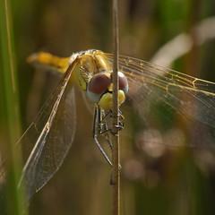 Sympetrum Fonscolombii (Visual Stripes) Tags: dragonfly odonata insect grass macro sigma105mm panasoniclumixg1 handheld bokeh