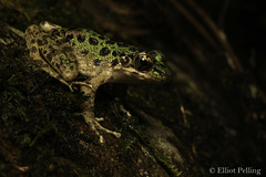 Tantalising Target (Elliot Pelling) Tags: frog piebald odorous odorrana schmackeri china mangshan beautiful wild nature rana amphibian herping herp nanling national park endemic