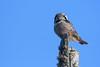 Northern Hawk Owl (jrlarson67) Tags: northern hawk owl sax zim bog mn minnesota nikon d500 wildlife bird raptor nature