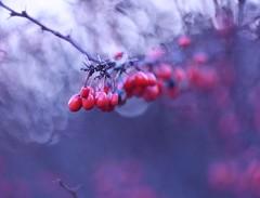 Red fruits (agnieszka.a.morawska) Tags: bokehlicious nature poland winter zima redfruits fruits manuallens oldlens helios44m helios bokehphotography bokehphoto bokeh