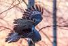 Great grey owl hunting (elfsprite) Tags: greatgreyowl owl strixnebulosa lapinpöllö helsinki viikki vanhankaupunginlahti mölylä nikond500 nikkor20050056 finland