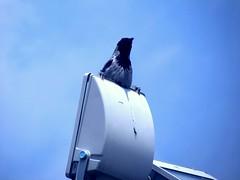 20180107_230219 (afs.harp) Tags: crow raven blue sky tehran nature iran
