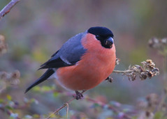 Bullfinch (wayne.withers1970 (Not on much now 'cos of work)) Tags: bullfinch finch bokeh fauna wales january winter red beautiful pretty feathers wings portrait black grey canon sigma outdoors outside wildlife small nature natural plant blur animal
