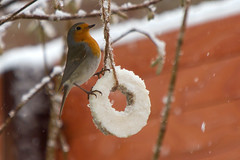 Roodborstje / European robin(Erithacus rubecula) (Freek Blokzijl) Tags: roodborst robin vogel vogelspotten tuinvogel garden yard winter snow hiver canon 70200l28isusm voedsel eos7d boom tree arbre