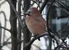 IMG_4046 young Jay (tobyjug5) Tags: london lateautumn wildlife ornithology rain cold perched pinkishbrown seeds garden suburban krarkrar mountainash windy