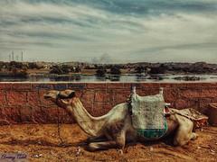 وحيد في بلاد الحبايب (amanyadel9212) Tags: sky water moutain camel animal nature desert aswan egypt mobile photography green trees travelling travel stories journey lake landscape new photos