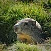 Portrait de marmotte (didier95) Tags: marmotte animal animaux montagne lacdesouliers hautesalpes queyras